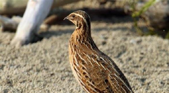طوارئ أبوظبي تعلن رصد سمان مصابة بإنفلونزا الطيور