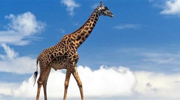 زرافة نادرة تنجب أطول حيوان في الأرض