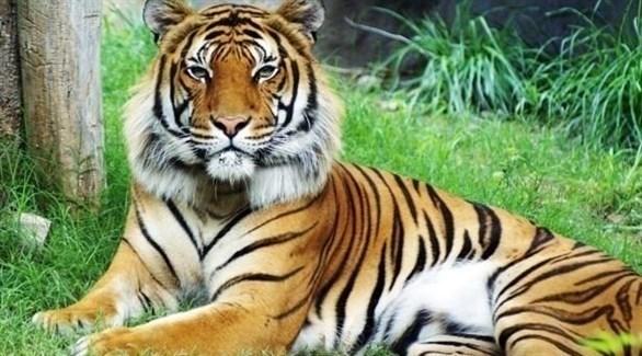 نمر هندي (أرشيف)