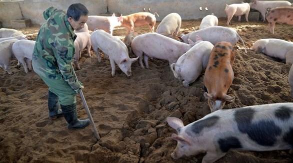 عامل صيني بمزرعة خنازير (أرشيف)