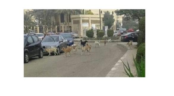 كلاب سائبة في أحد الأحياء المصرية (أرشيف)