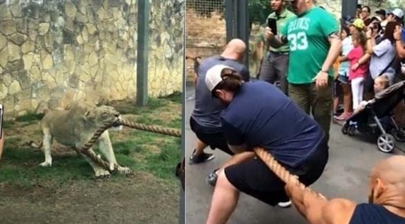بالفيديو: مسابقة في شد الحبل بين أسد و 3 مصارعين
