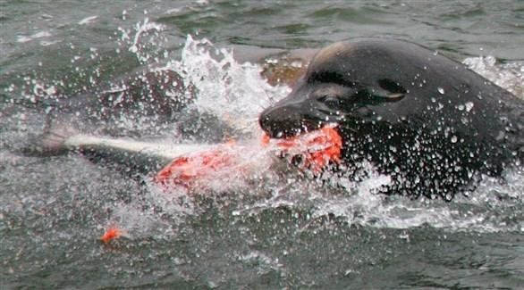 حيوان أسد البحر مع سمكة سلمون (أرشيف)