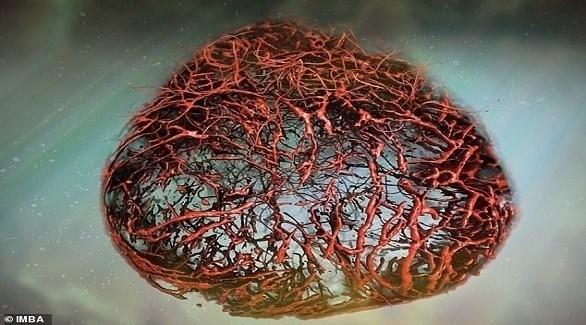 علماء يزرعون أوعية دموية بشرية في المختبر (ديلي ميل)