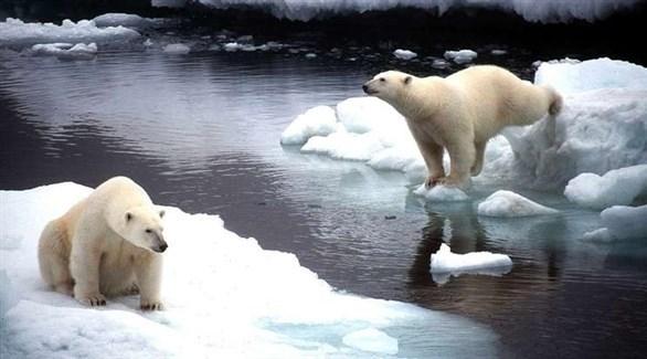 الدببة القطبية في روسيا (وكالة تاس)