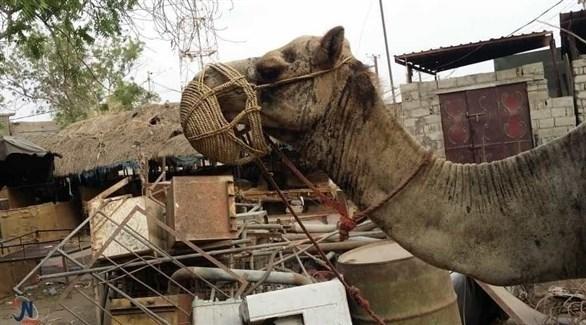 ميليشيات الحوثي تحول الإبل ألغاماً مفخخة في الحديدة (نيوز يمن)