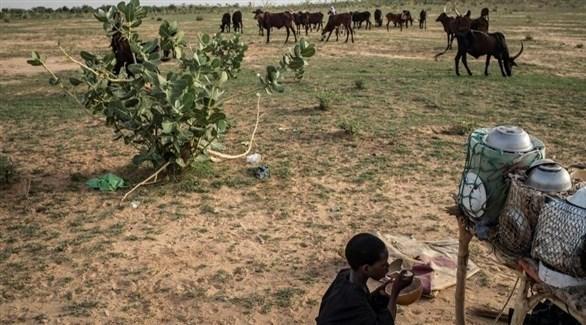 أبقار في الساحل الأفريقي (أ ف ب)