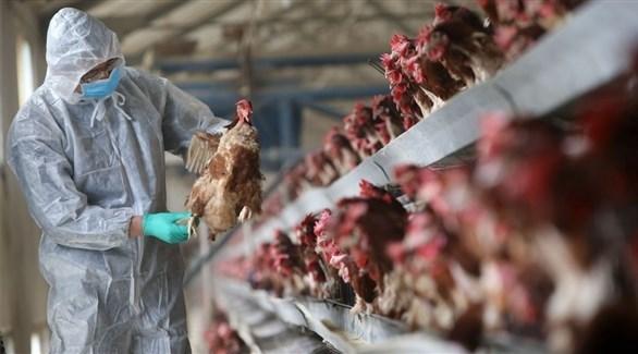 مزرعة للدجاج (أرشيف)