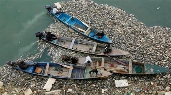 آلاف الأسماك النافقة حول قوارب صيادين عراقيين في هور الدلمج (أرشيف)