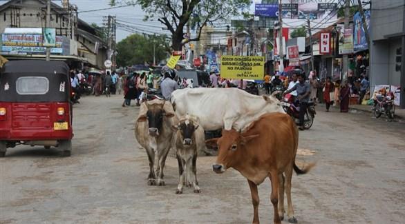أبقار سائبة في شارع بجافنا السريلانكية (أرشيف)