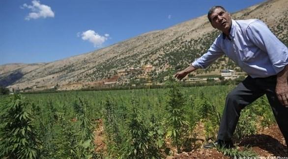 مزارع لبناني يراقب محصوله من القنب الهندي (أرشيف)