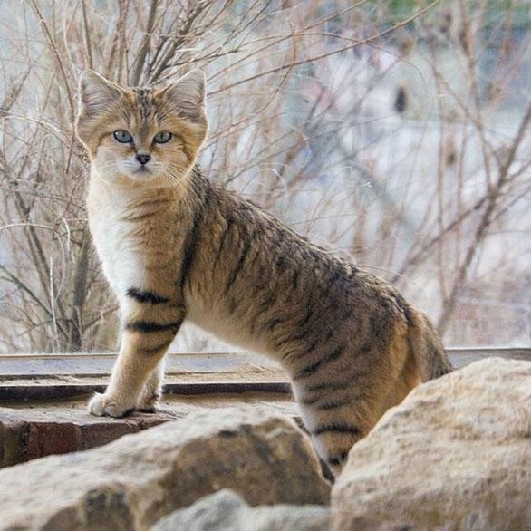 بالصور هذه الفصائل من القطط النادرة ستنقرض عما قريب