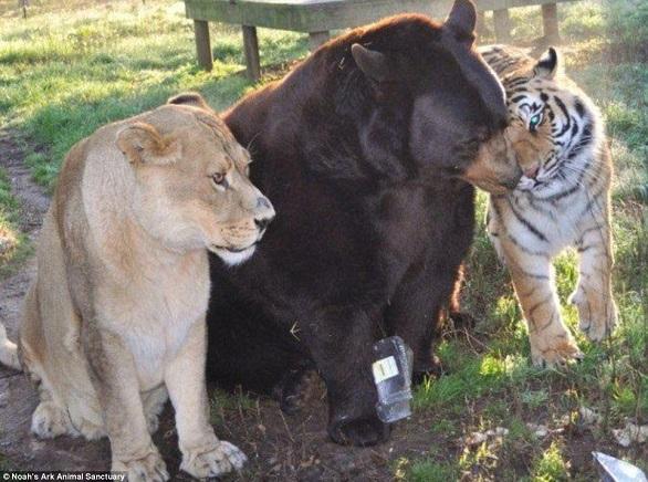 بالصور: أسد..نمر.. ودب يعيشون صداقة أسطورية 1.jpg