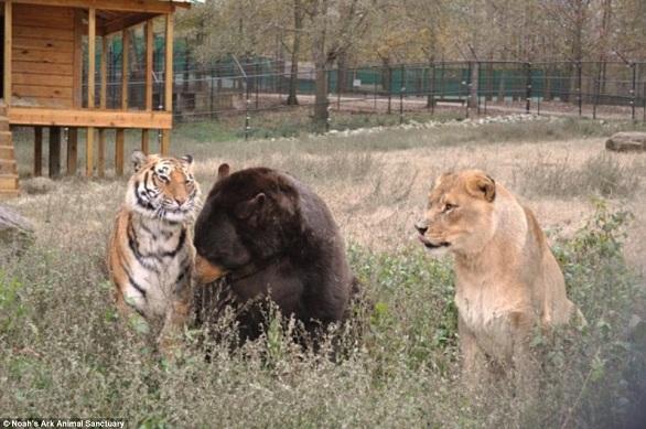 بالصور: أسد..نمر.. ودب يعيشون صداقة أسطورية 10.jpg
