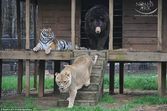 بالصور: أسد..نمر.. ودب يعيشون صداقة أسطورية 2.jpg