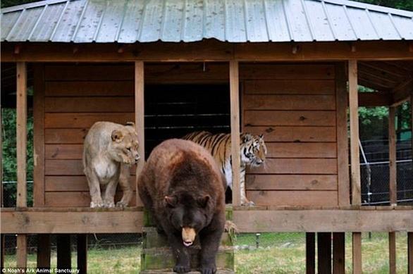 بالصور: أسد..نمر.. ودب يعيشون صداقة أسطورية 3.jpg