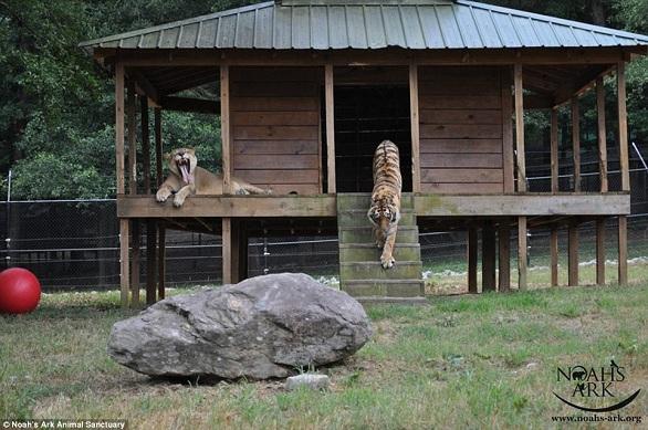 بالصور: أسد..نمر.. ودب يعيشون صداقة أسطورية 4.jpg