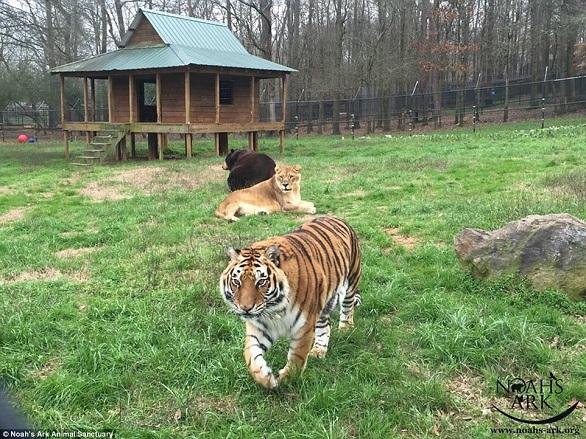 بالصور: أسد..نمر.. ودب يعيشون صداقة أسطورية 5.jpg