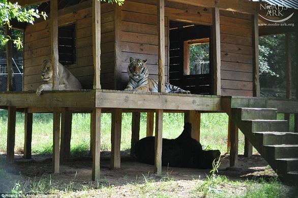 بالصور: أسد..نمر.. ودب يعيشون صداقة أسطورية 7.jpg