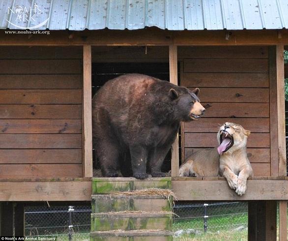 بالصور: أسد..نمر.. ودب يعيشون صداقة أسطورية 8.jpg