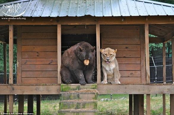 بالصور: أسد..نمر.. ودب يعيشون صداقة أسطورية 9.jpg